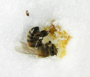 bee-in-snow-2-large