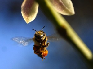 bee_flying_from_pdphoto 2